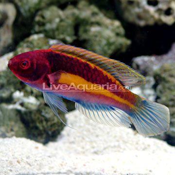 Liveaquaria Aquarium Fish Fish Pet Wrasse