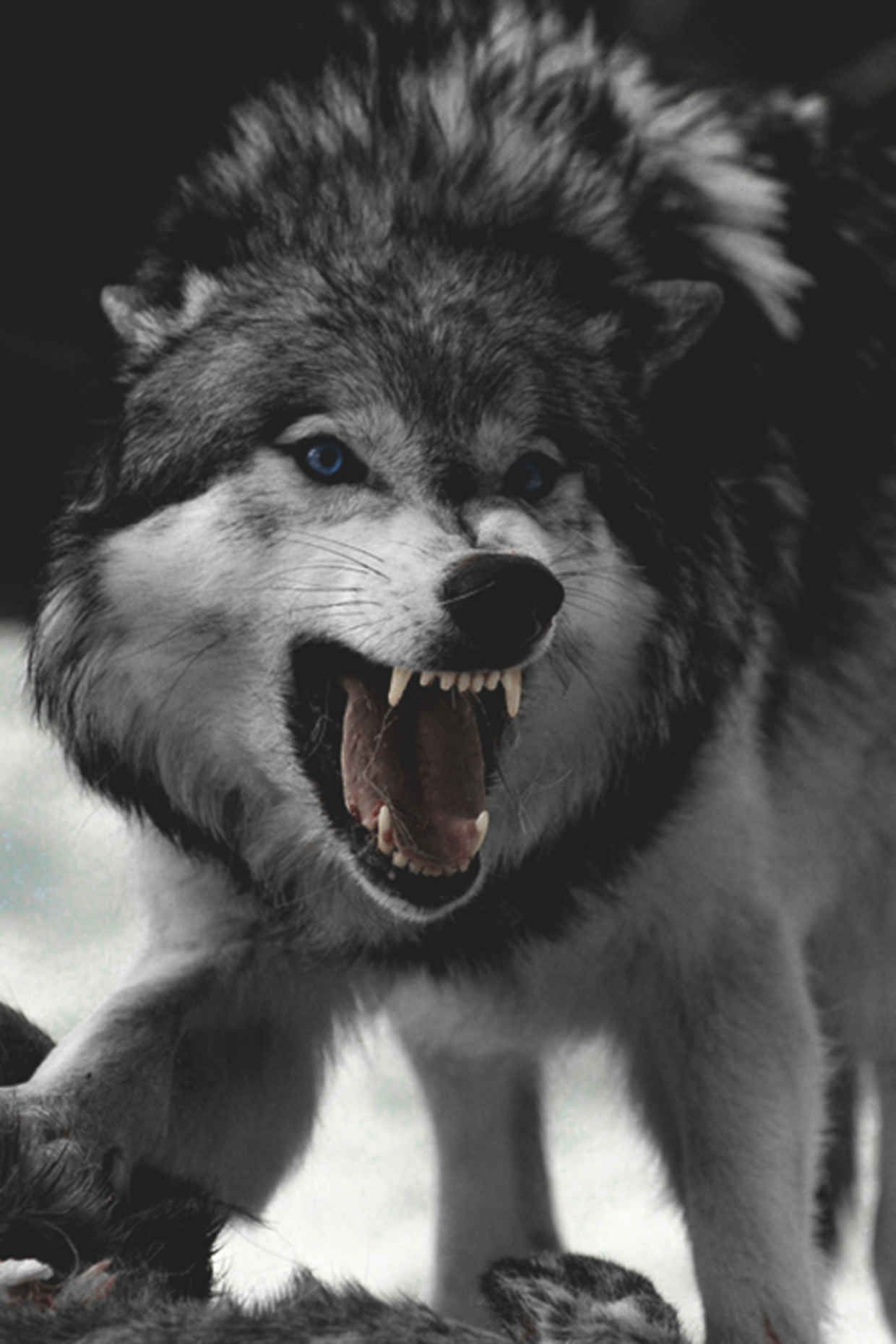 Weekly Inspiration 47 | Wolf, Animal and Dog for Angry Wolf Black And White  183qdu