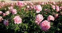 """""""Belinda's Dream"""" Texas rose"""