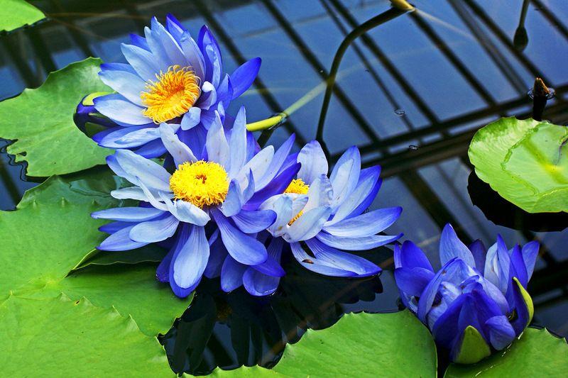 Blaue seerosen nymphaea gigantea nymphaea gigantea wikipedia blaue seerosen nymphaea gigantea nymphaea gigantea wikipedia the free encyclopedia mightylinksfo
