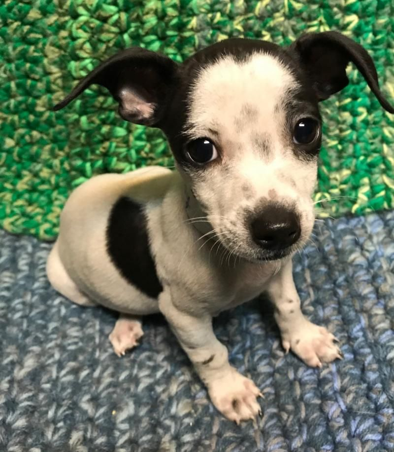 Adopt Candy on Petfinder Pets, Dogs, Chihuahua mix