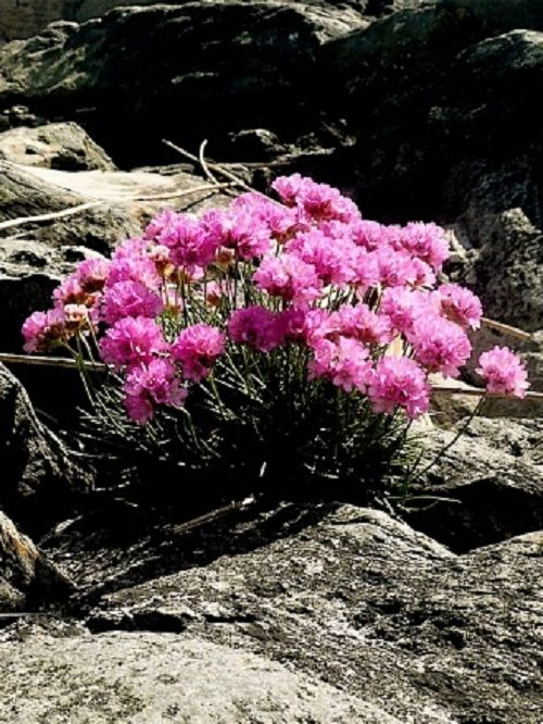 Sea pinks thrift sea pinks 295 wild thyme plants frome flowers sea pinks mightylinksfo
