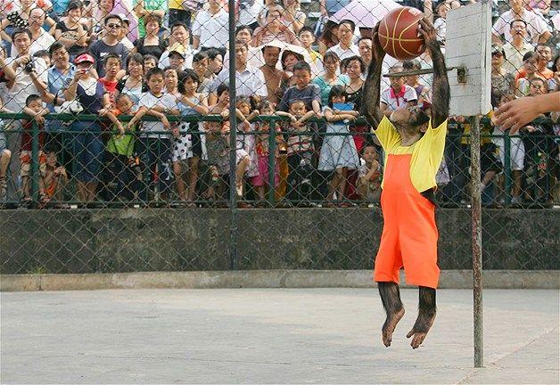 A chimpanzee plays basketball in China. | Chimpanzee, Latest video ...
