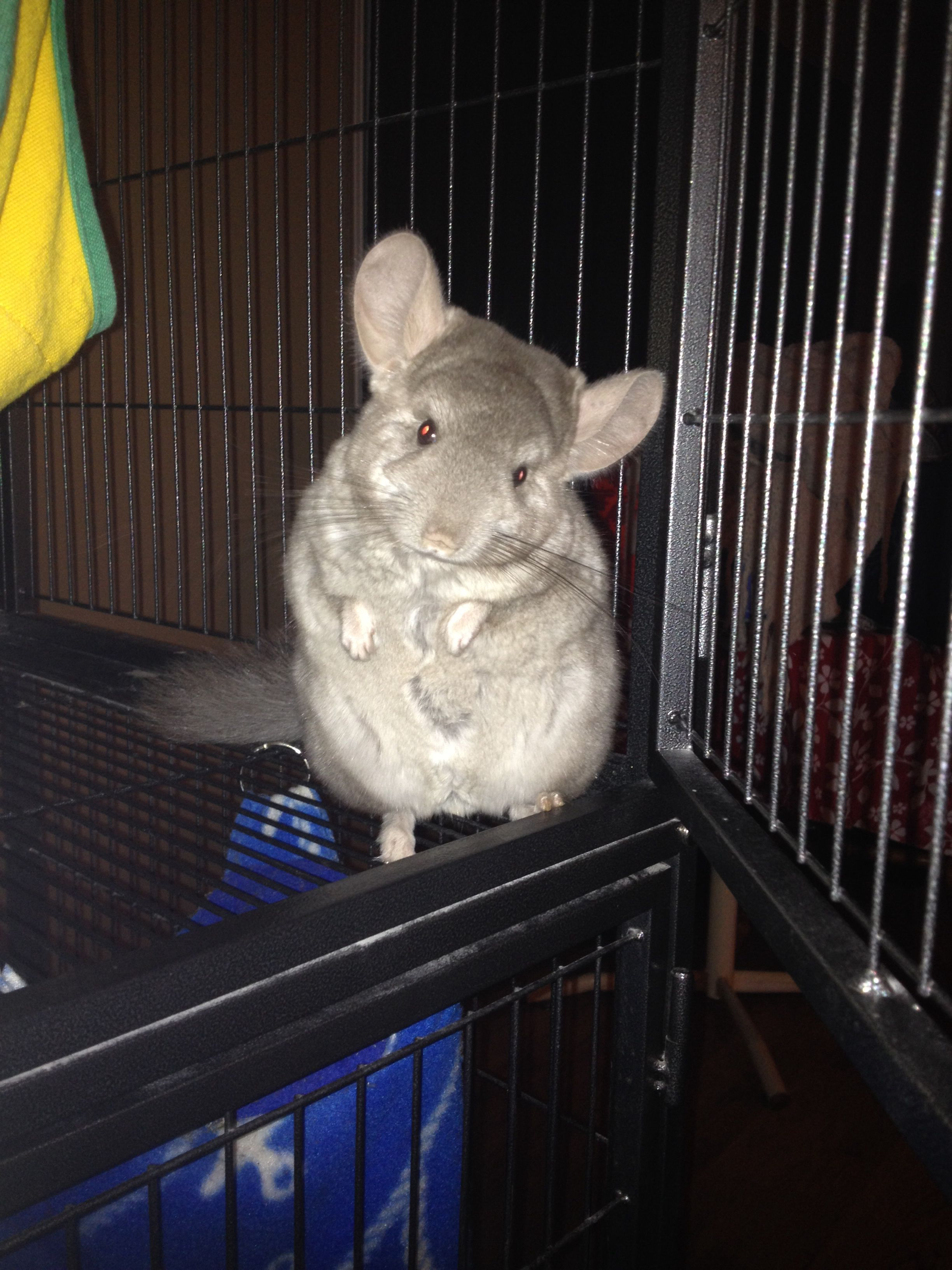Chinchilla model, I think she's a Hetero beige mixed with ...