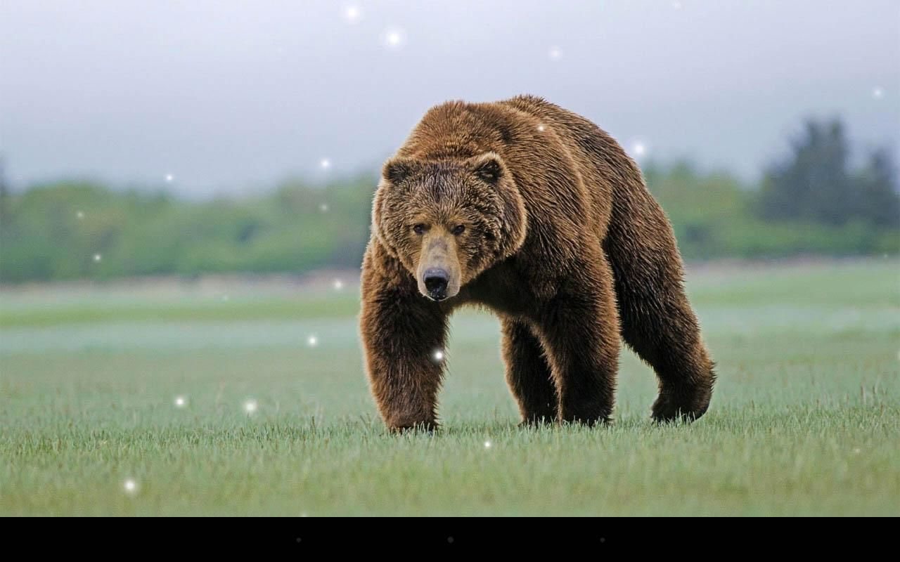 oso pardo wallpaper - Buscar con Google | Osos | Pinterest | Osos ...