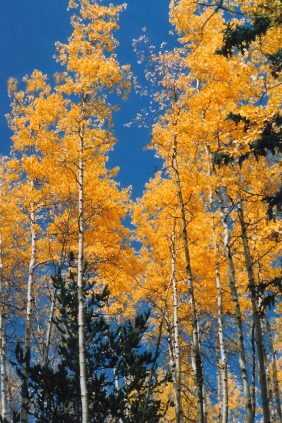 Aspen Trees Victor Colorado Taken By Me Tish Thawer - Where is aspen