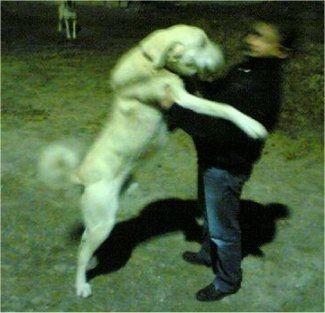 фото акбаш собака