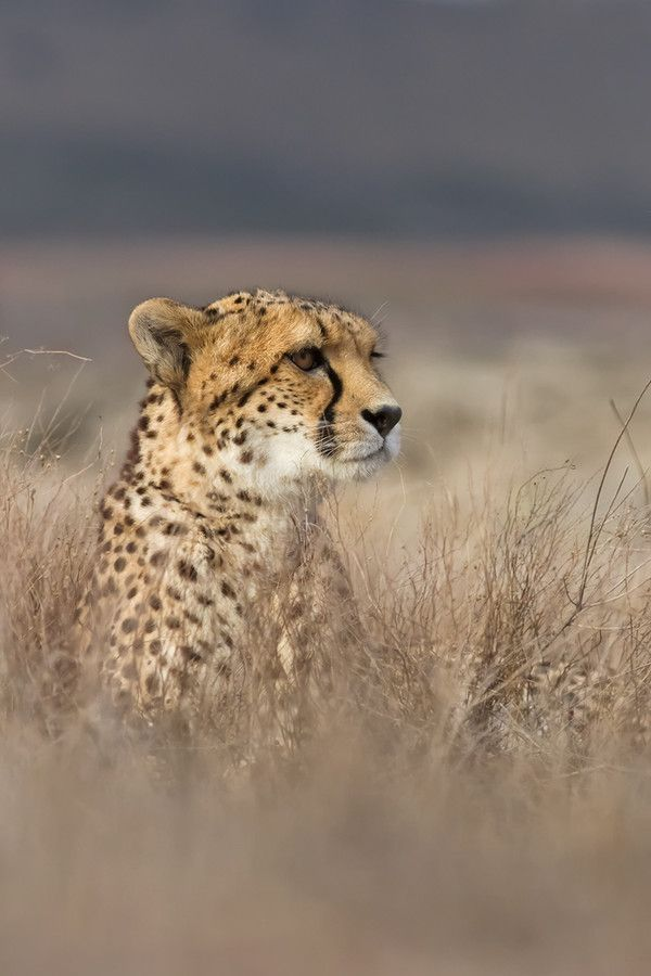 Under control #Cheetah #Animals