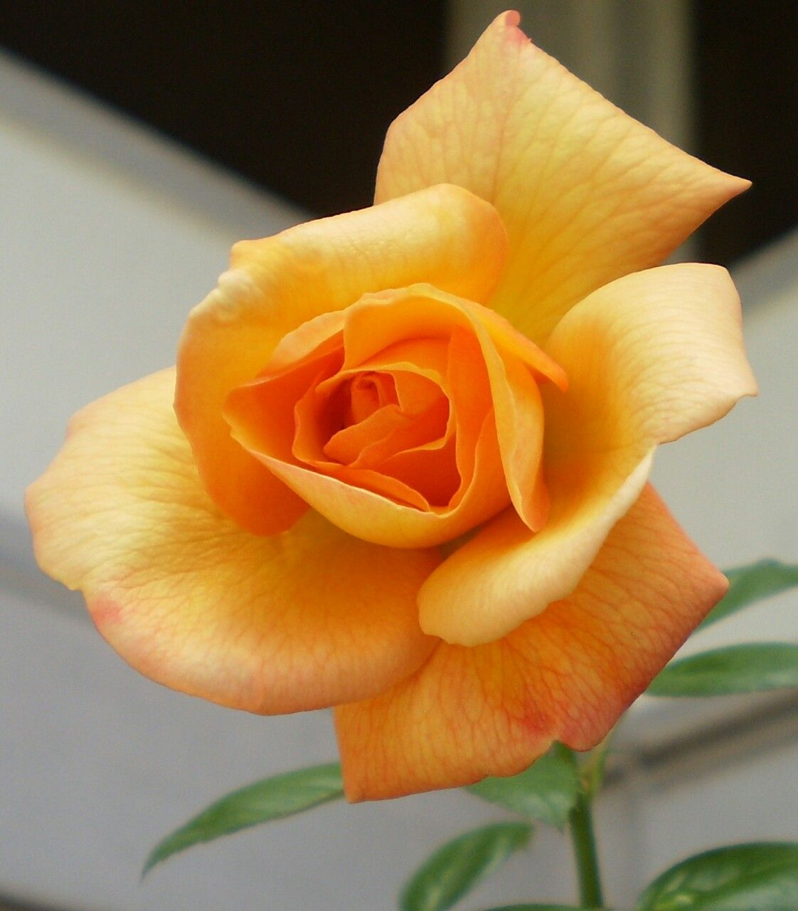 Yellow rose je veux le dessert photo rose pinterest flower