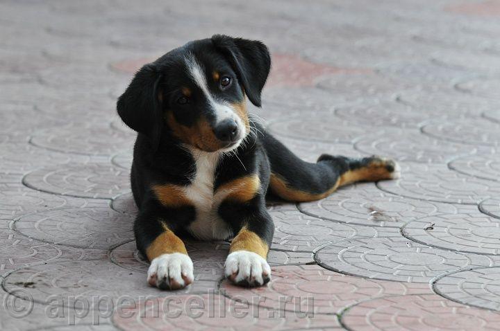 Awwww Precious Little Appenzeller Pup Entlebucher Sennenhund