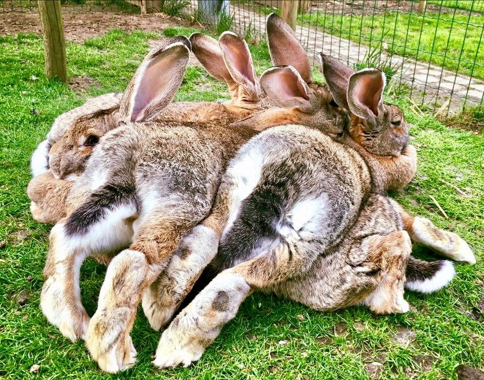 Картинки самая большая кролик