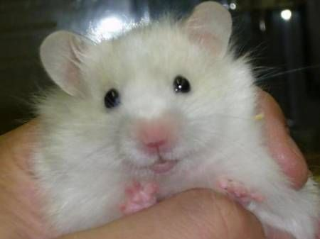 Long Haired Syrian Hamster Price Rs 400 Location Karnataka