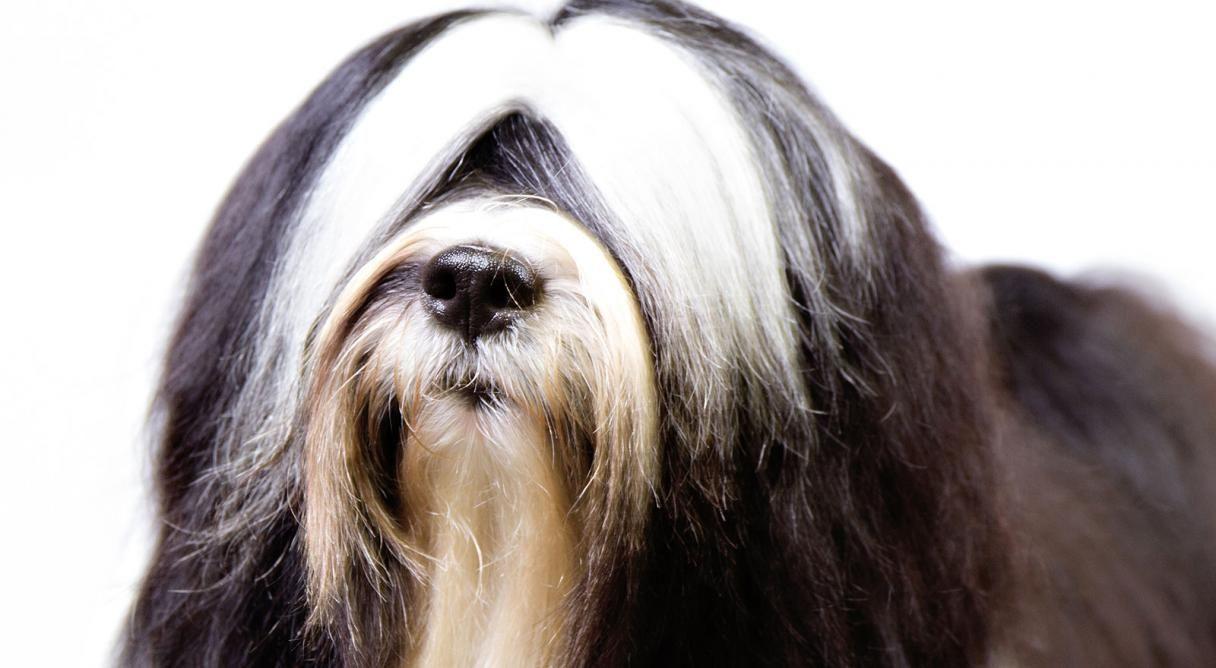 Tibetan Terrier Dog Breed Information Terrier Dog Breeds Dog Breeds Tibetan Terrier