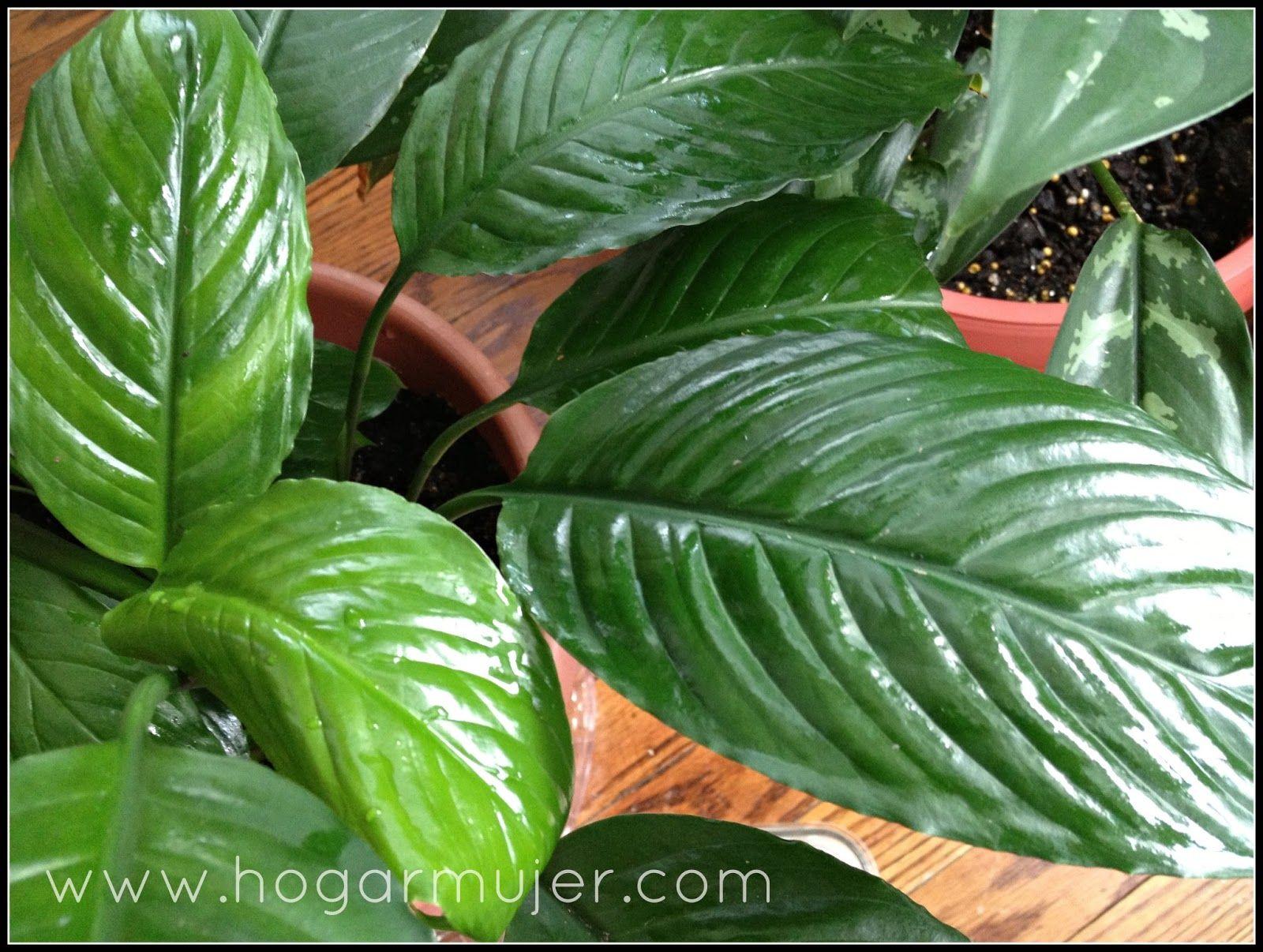 Como limpiar y mantener las plantas de interiores - Plantas interiores ...