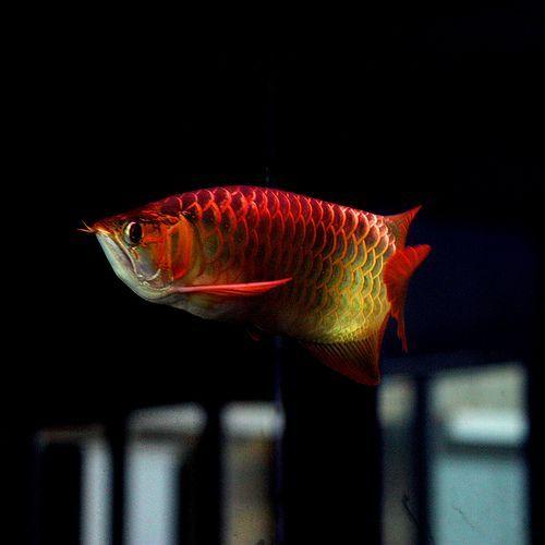 Dragon Fish Arowana Beauty 5 Ikan Akuarium Ikan Akuarium