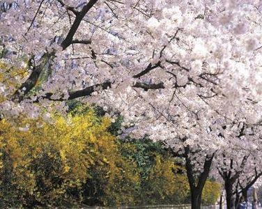 Companion Planting For Cherry Trees Ehow Com Planting Cherry Trees Yoshino Cherry Tree Companion Planting