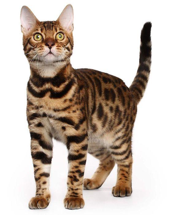 Kot Bengalski Rasowe Koty Domowe Cats Wild Cats Bengal Cat