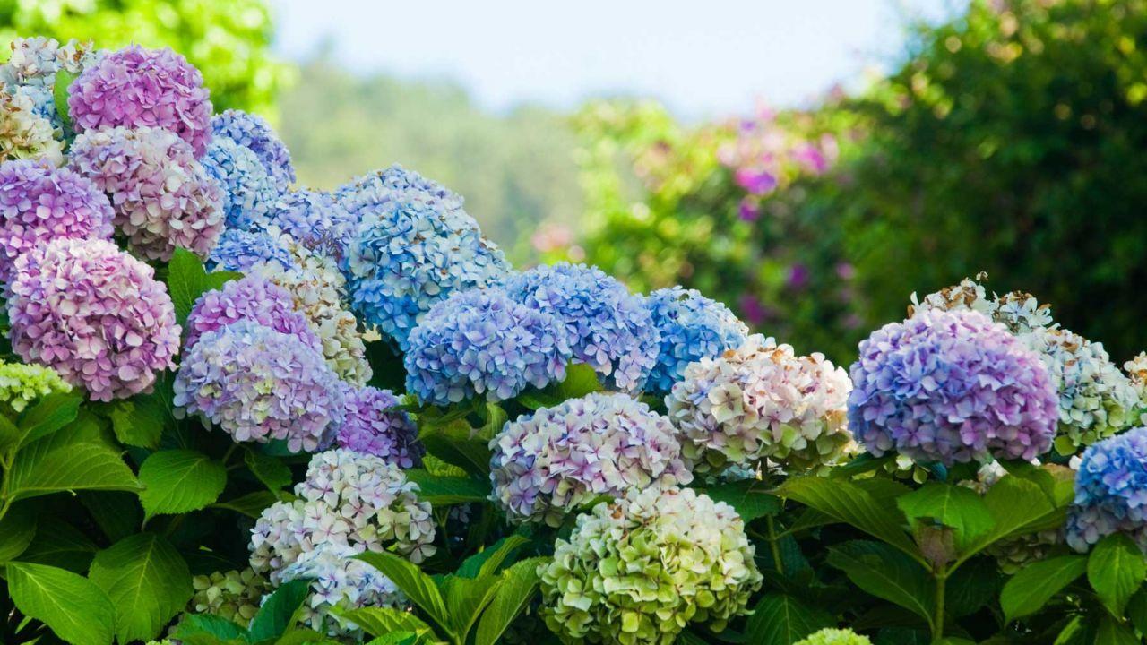 Cuidados de la hortensia jard n y huerto casero - Hortensias cuidados poda ...