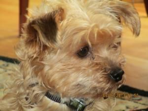 Adopt Buttons Adopted On Petfinder Yorkie Dogs Yorkshire Terrier Yorkshire Terrier Dog