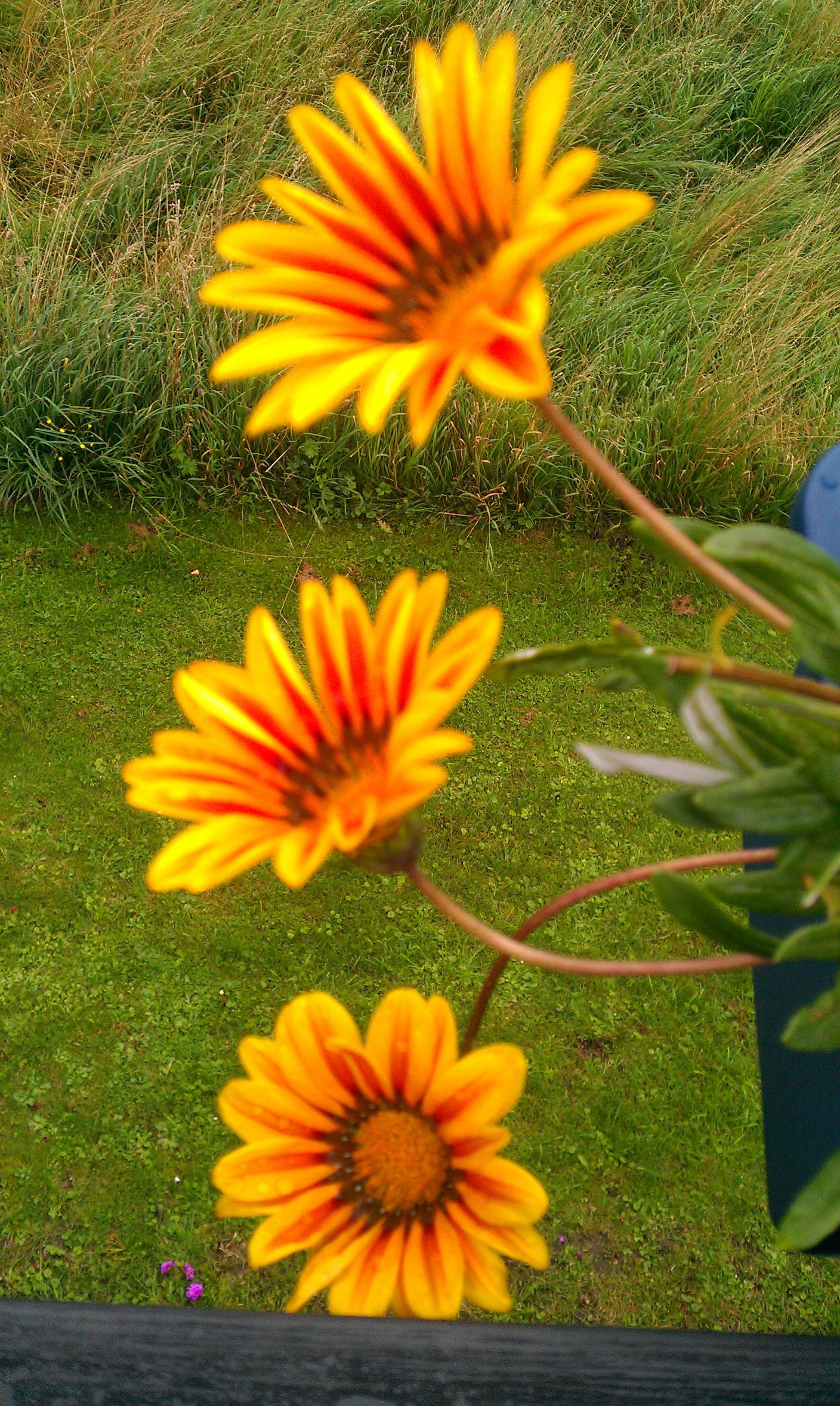 Gazenias Flowers Gazenia Corn Flower Marigold Zinnia