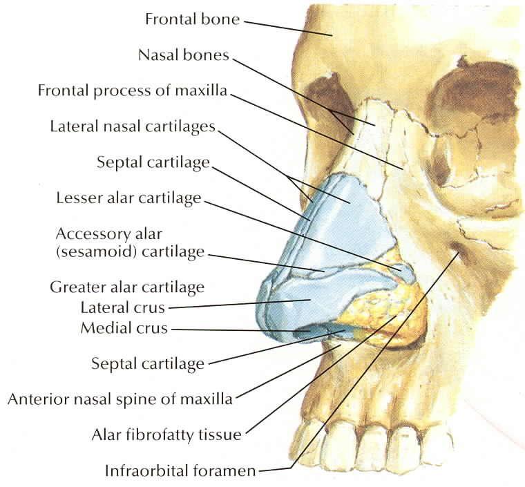 Netter 031a Nose Bones Rhinoplasty Lll Pinterest Nose Bones