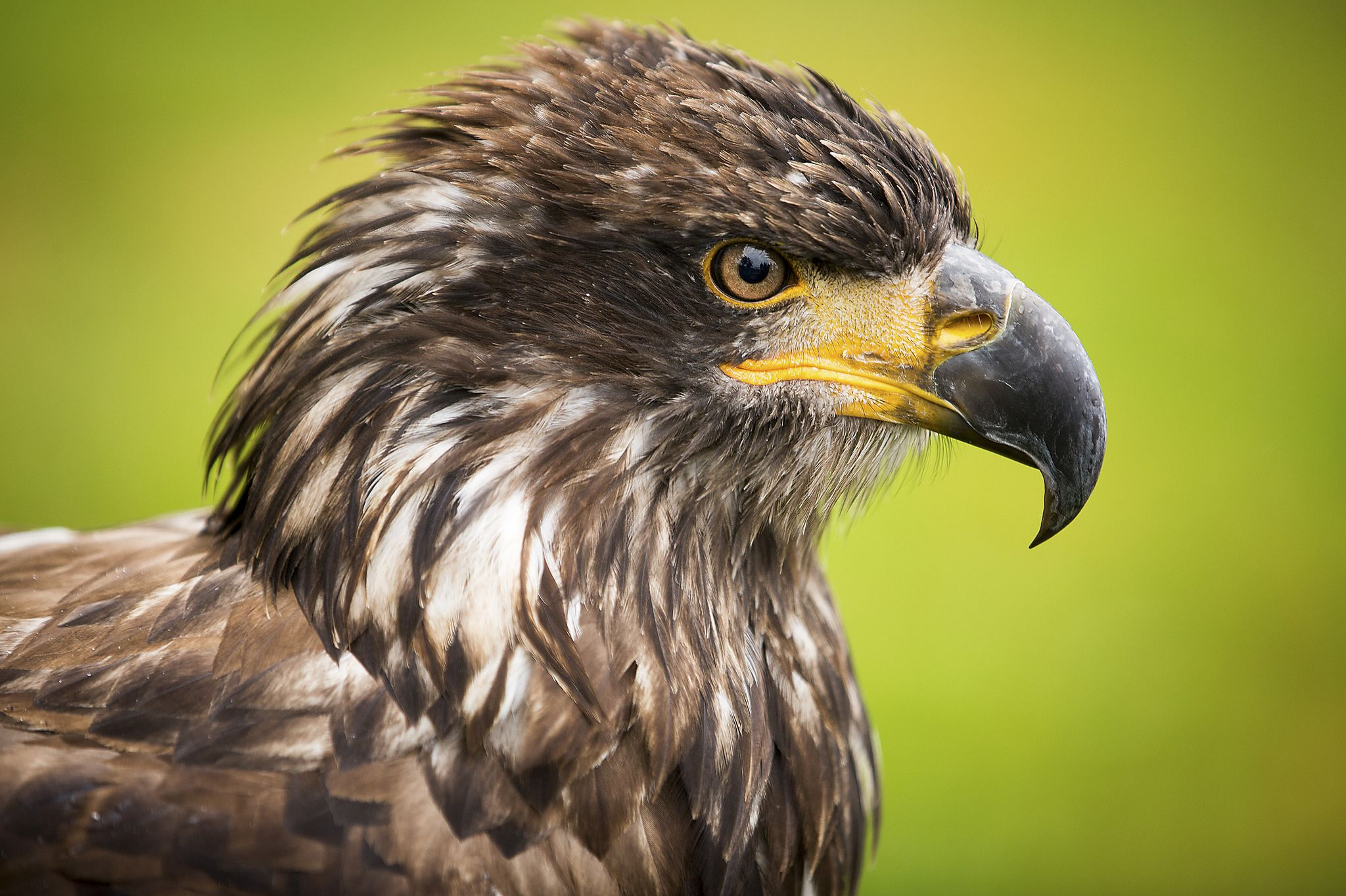Junger Weisskopfseeadler Bald Eagle Animals Photography