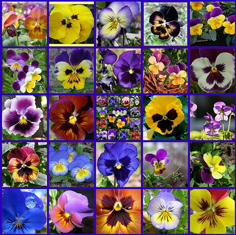Pin On Pansy Garden