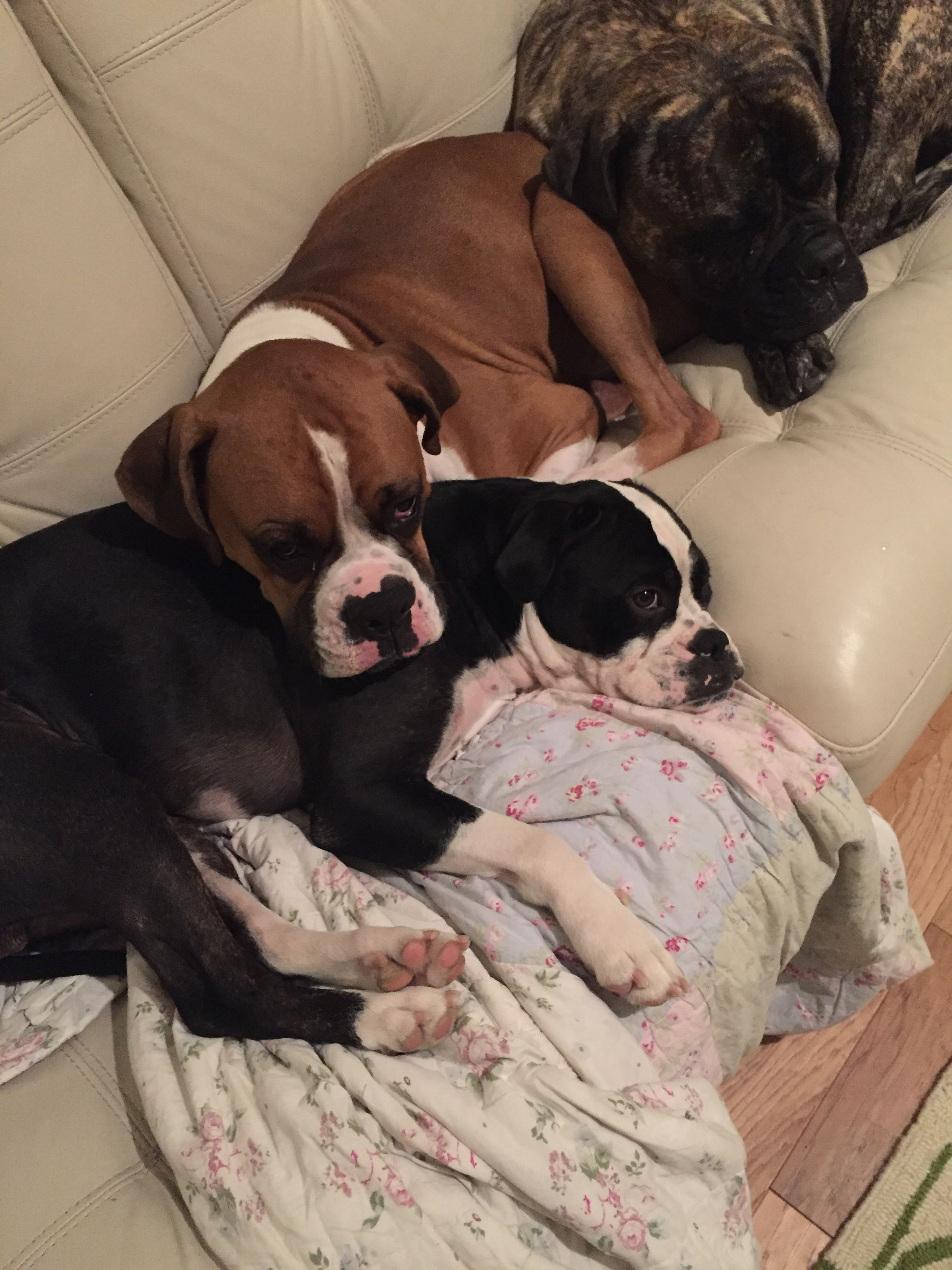 Pin By Dark N Lovely On Boxer Mom Boxer Dogs Boxer Dogs Art Boxer Dog Puppy