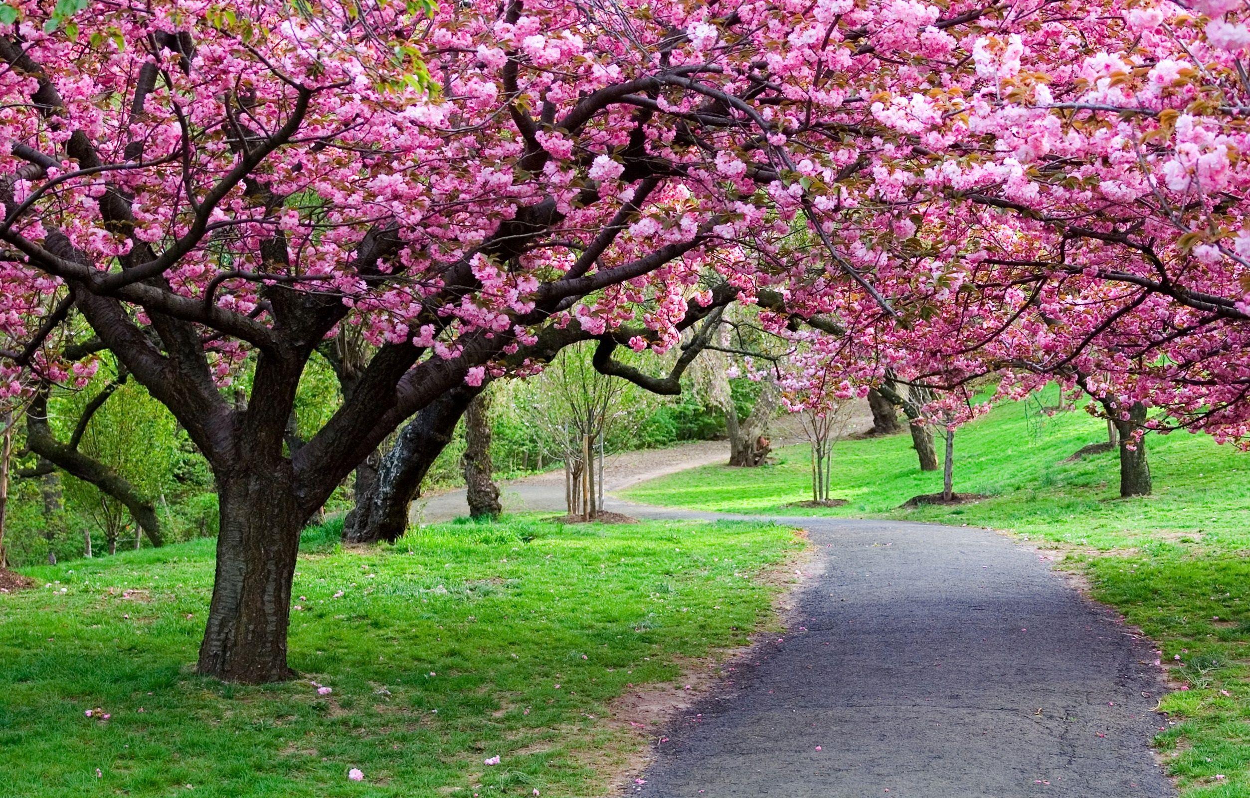 Cherry Blossom Trees Blossom Trees Flowering Trees Spring Flowering Trees