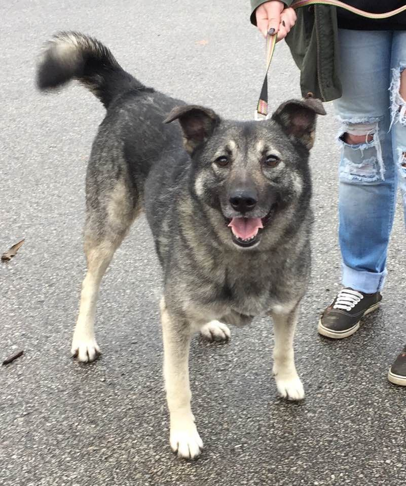 Norwegian Elkhound dog for Adoption in Cincinnati, OH. ADN