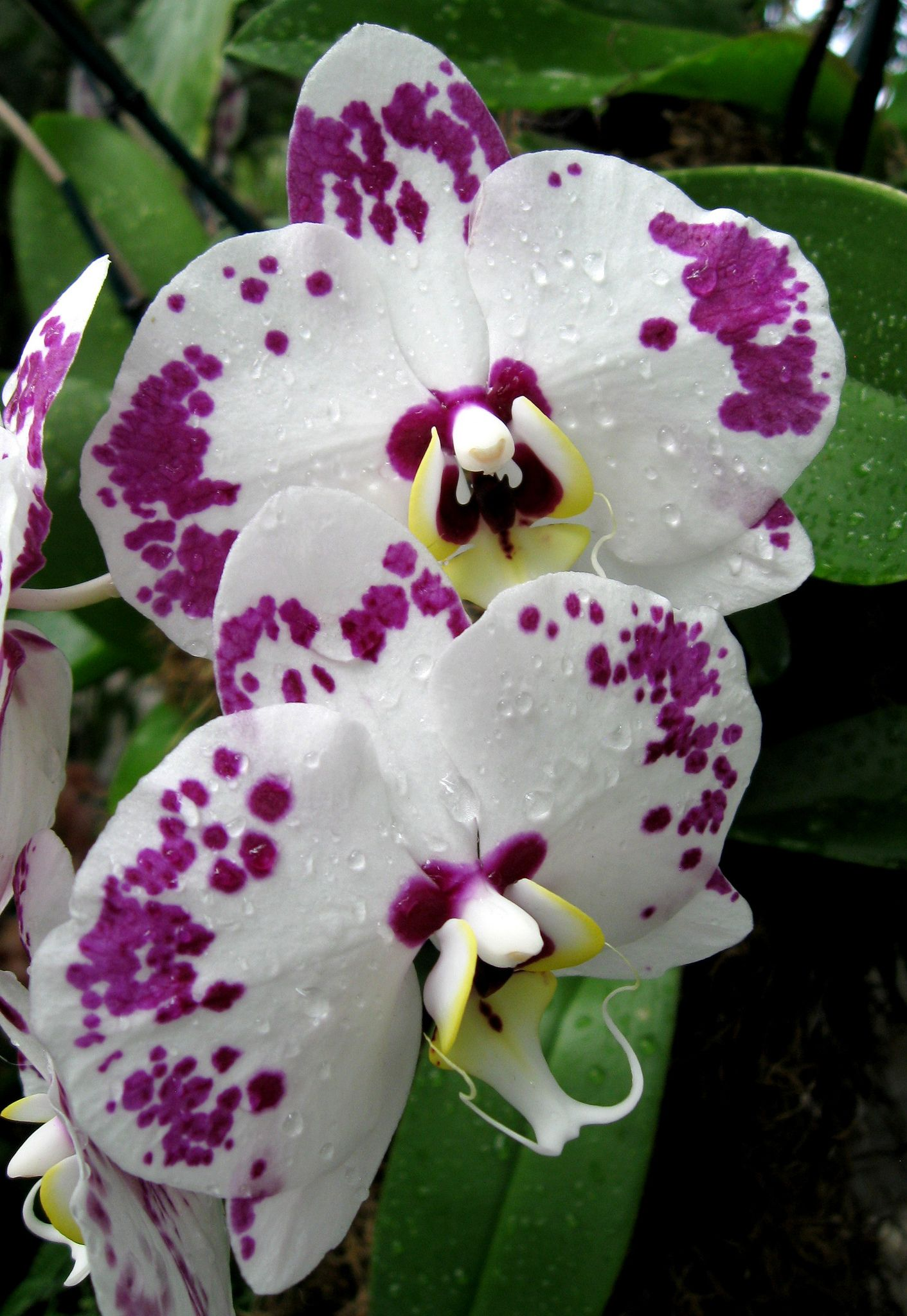 Orchids Galore Purple Orchids Orchid Flower Beautiful Orchids