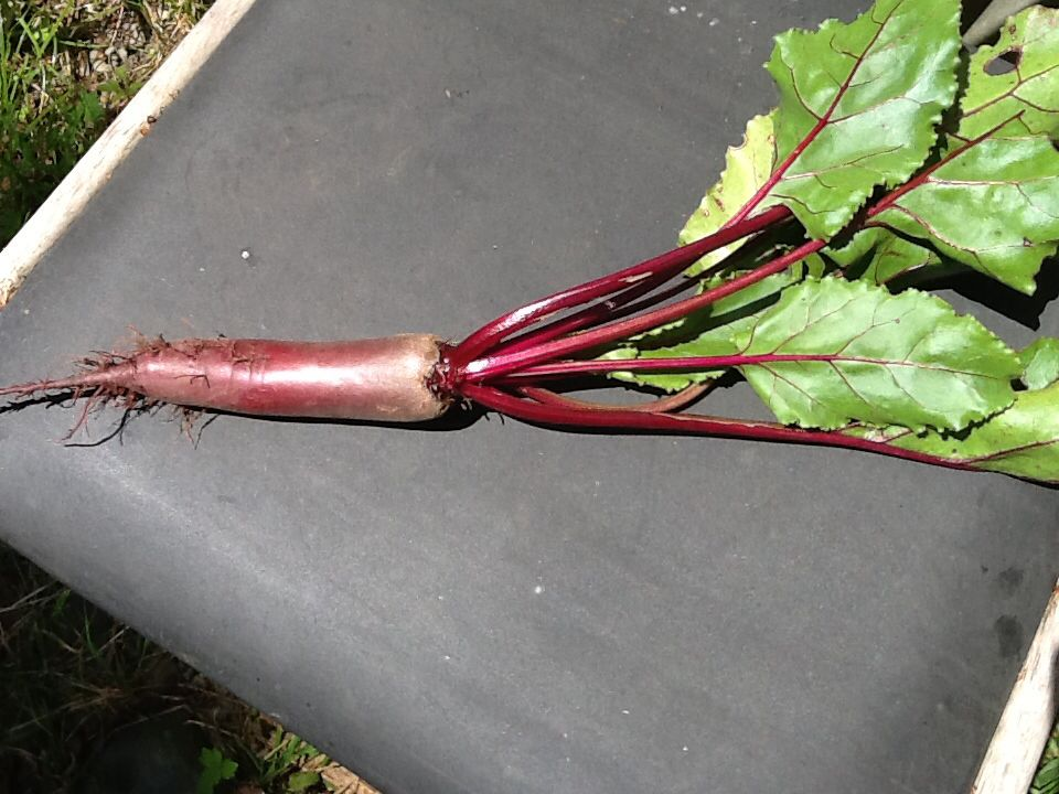 First beetroot of the year