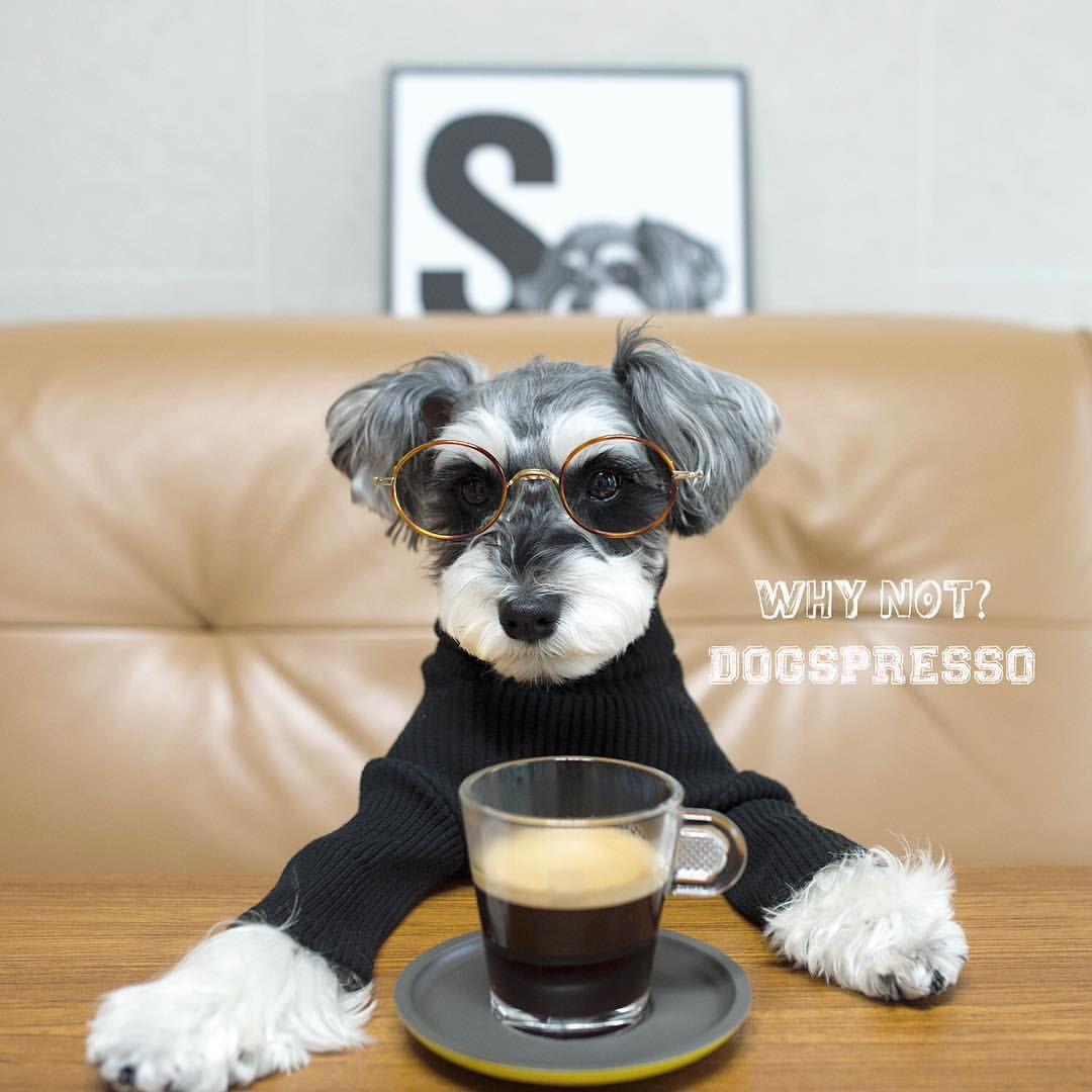See This Instagram Photo By Conanchang 613 Likes Stylish Dogs Schnauzer Fluffy Critter