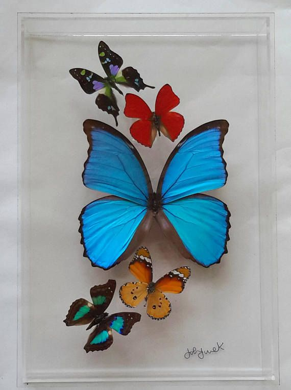 New butterfly display framed butterflies mounted