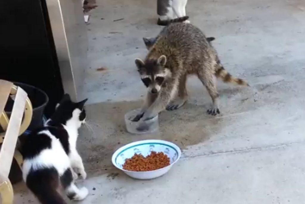 Best 5 raccoon proof cat feeders how to keep raccoons