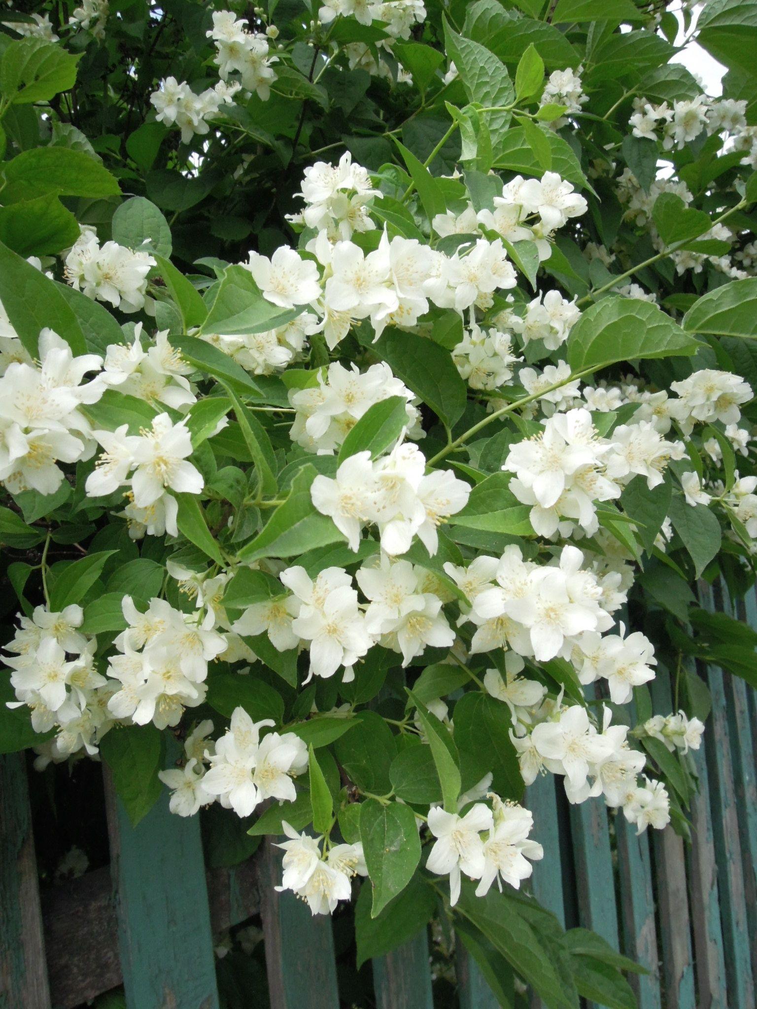Weninspiration jasmine is relaxing and has soothing botanical weninspiration jasmine is relaxing and has soothing properties sometimes its used as an aphrodisiac izmirmasajfo
