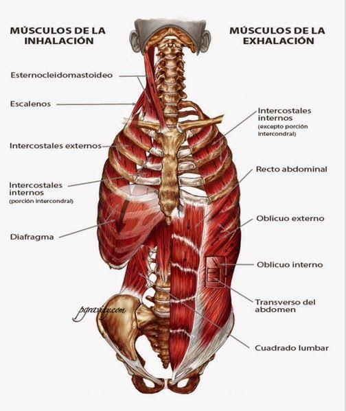 Podemos intuir sobre la importancia que tienen los músculos del ...