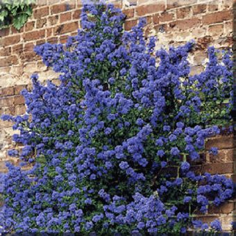 climbers ceanothus impressus puget blue dunderry walled. Black Bedroom Furniture Sets. Home Design Ideas