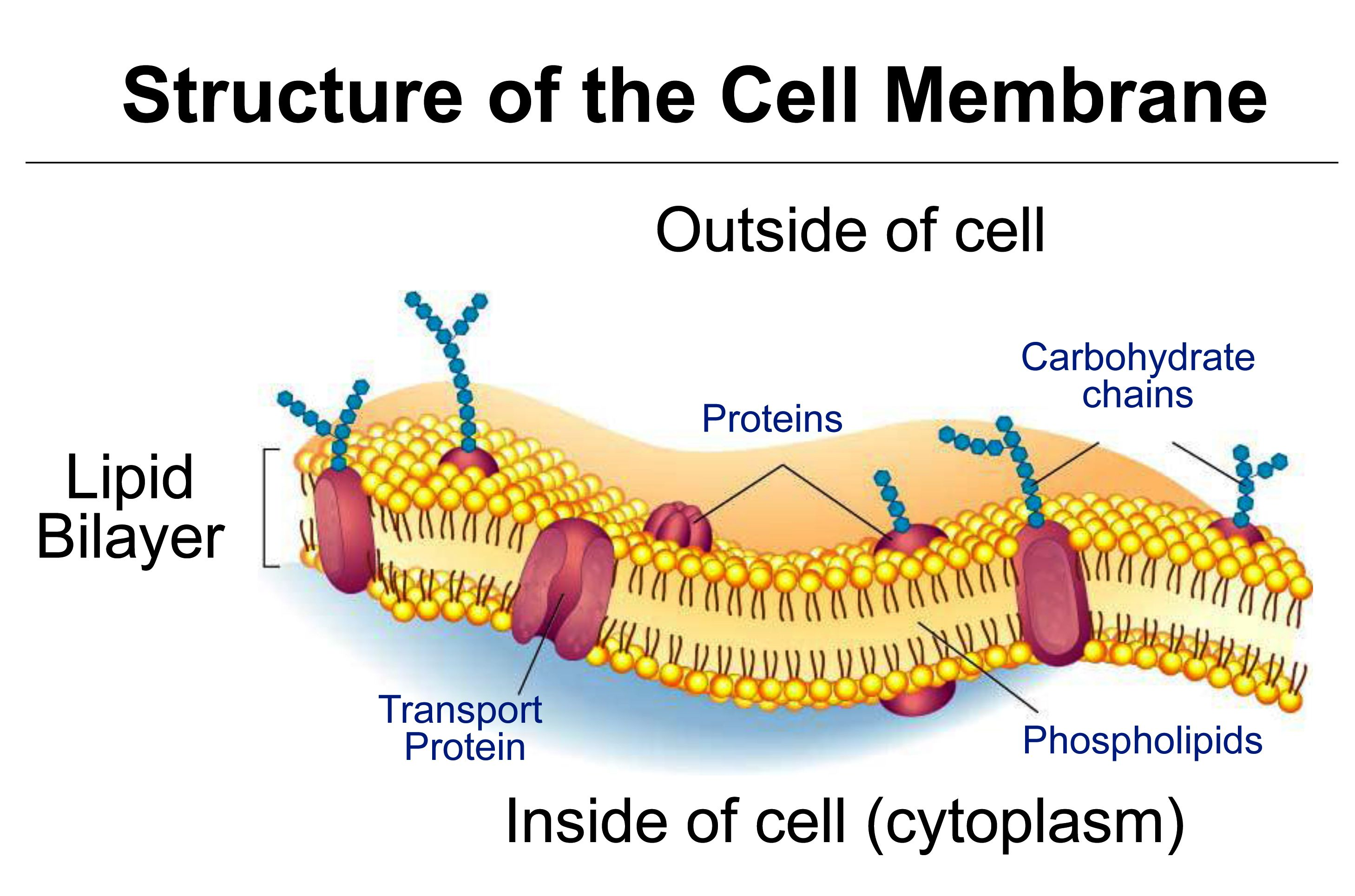 Tj Schematic Diagram Of Typical Membrane Proteins In A Biological Membrane The Phospholipid Bilayer The Basic Stru Cell Membrane Cell Organelles Animal Cell