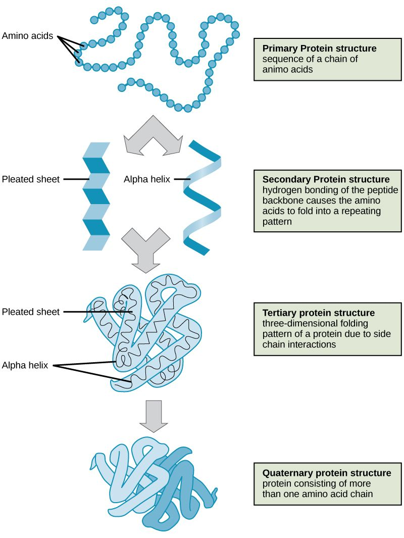 Shown are the four levels of protein structure the primary shown are the four levels of protein structure the primary structure is the amino acid nvjuhfo Image collections