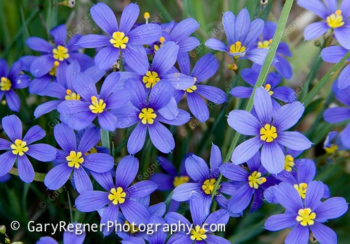Texas Wildflower Identification Index : Texas Wildflower