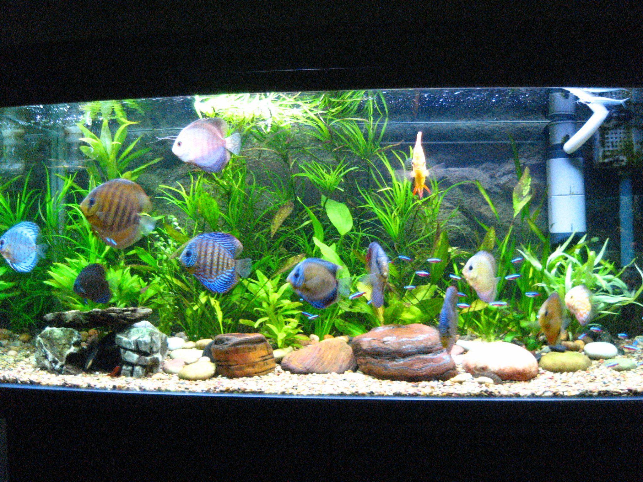 Peceras de agua dulce decoradas google search peceras for Peces ornamentales acuarios