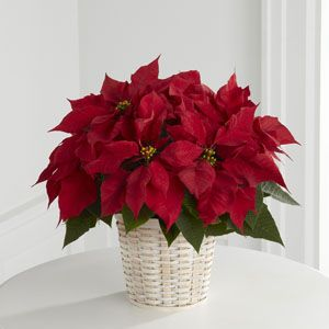 Give A Traditional Holiday Gift This Season Your Hostess Is Sure To Love This Christmas Poinsettia The Ftd Red Poinsettia B Christmas Flowers Christmas Poinsettia Poinsettia