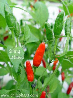 Chileplants Com Search Results Siling Labuyo Pepper 400 x 300