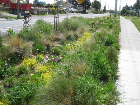 Roadside Rain Garden in Ballard Landscape Design