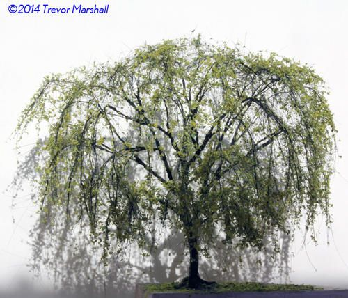 Weeping Willow | Model Railroad Hobbyist magazine | Having fun with model trains | Instant access to model railway resources without barriers