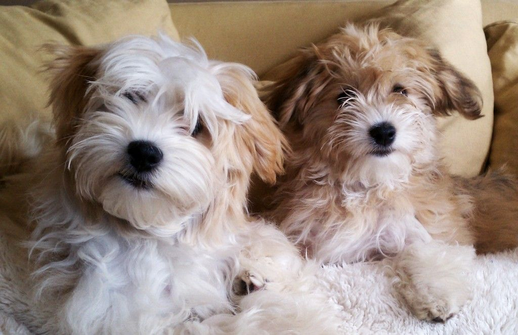 Adoption Process (With images) Havanese, Havanese