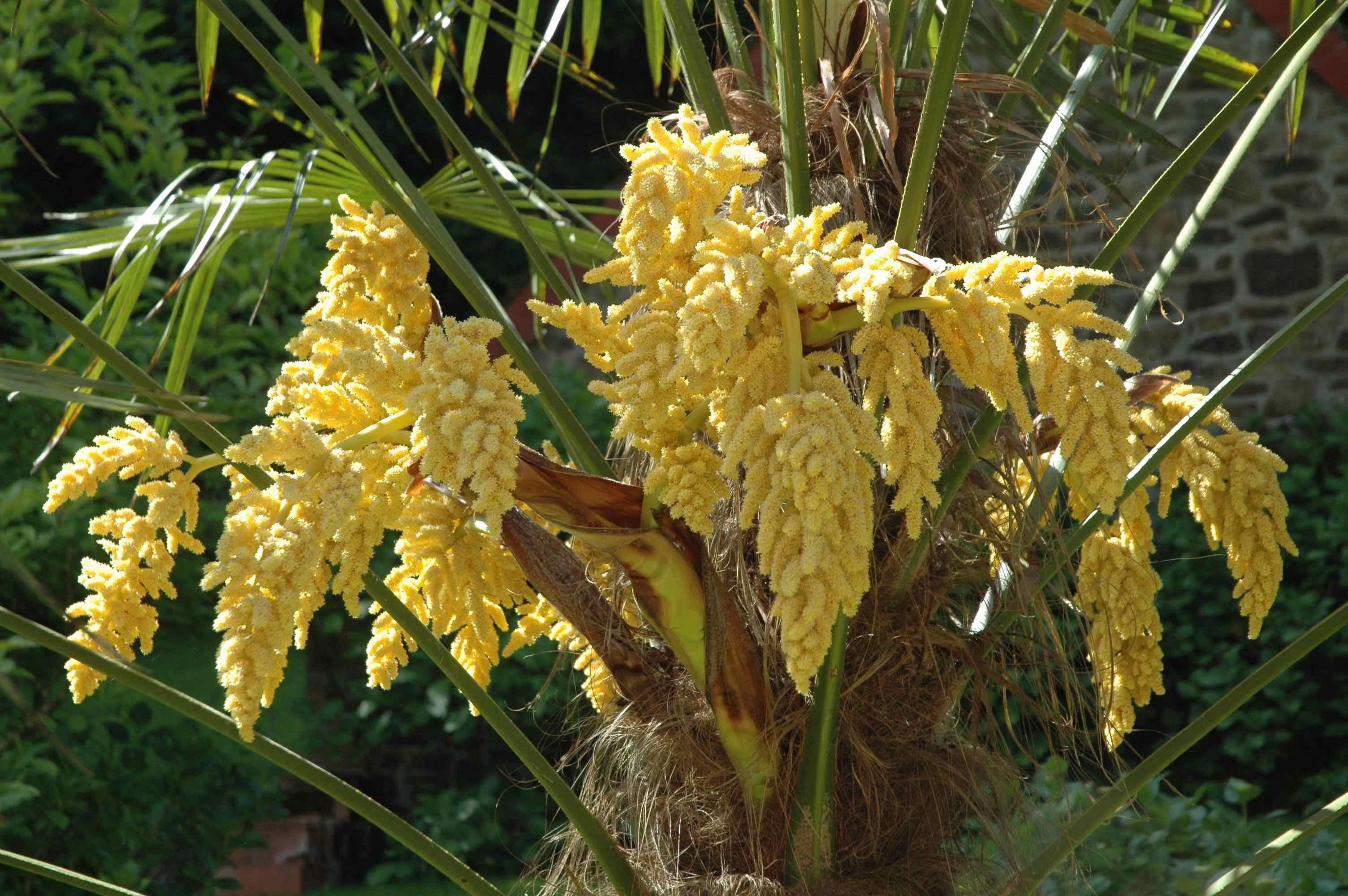 fleurs de palmier moulin de beltaine notre jardin pinterest fleur de palmier palmiers. Black Bedroom Furniture Sets. Home Design Ideas
