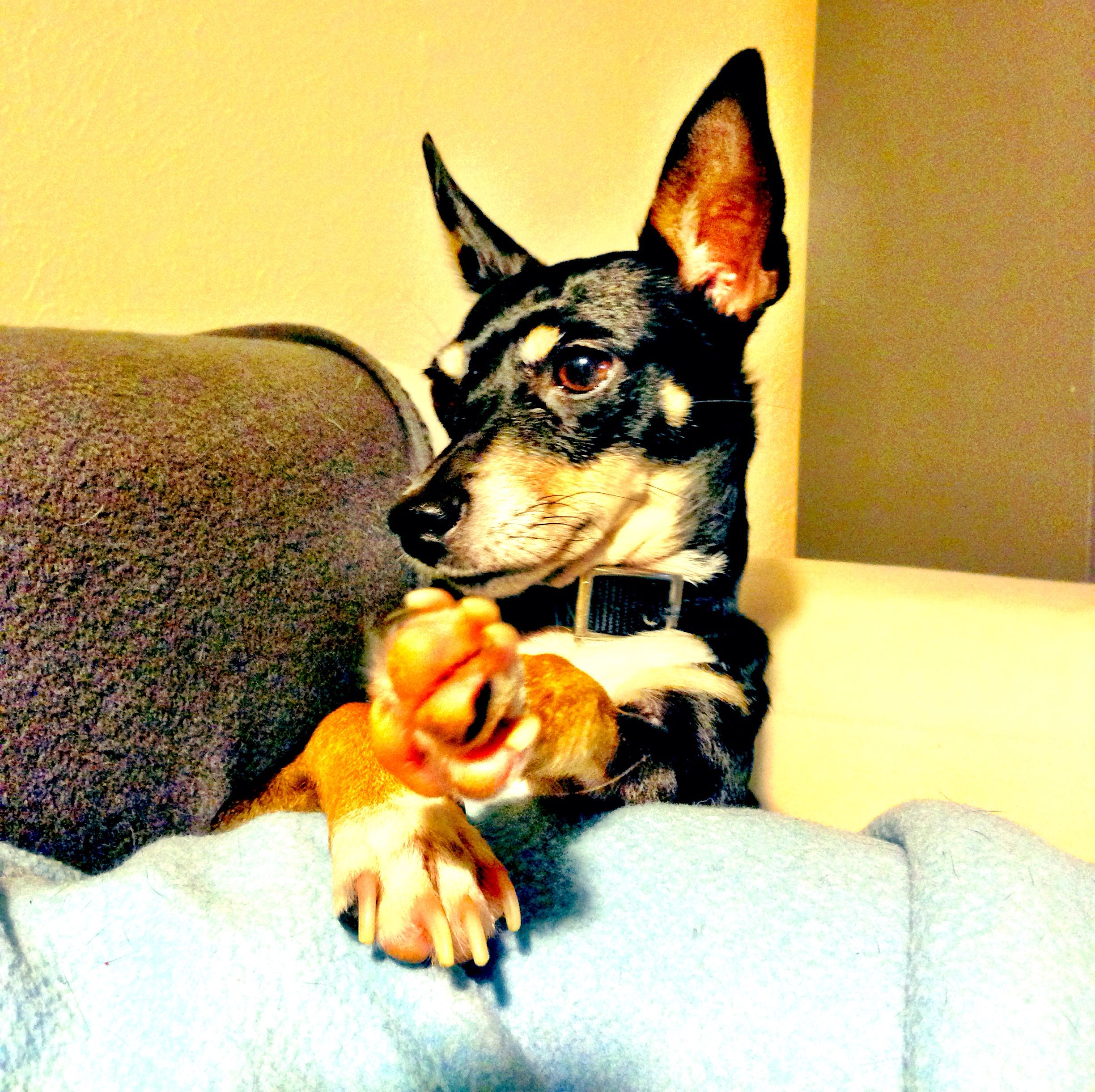 Lily The Manchester Rat Terrier Mix Rat Terriers Terrier Mix