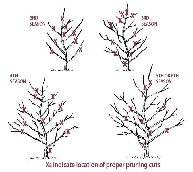Jonagold Apple From Stark Bro S Pruning Fruit Trees Aquaponics Pruning Apple Trees